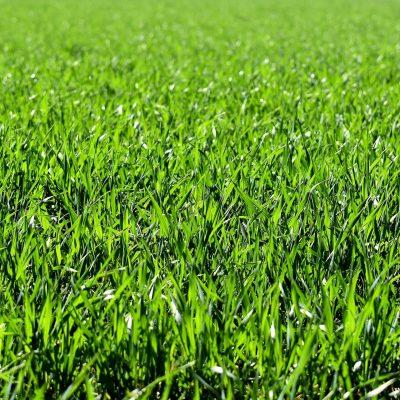 Hybride Gras